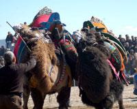 Okul yararına deve güreşi