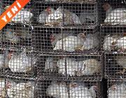 AB: Türkiye'deki kuş gribi ölümcül