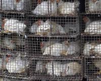 AB: Türkiye'deki kuş gribi virüsü ölümcül