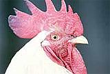 Kuş gribinden 3 çocuk öldü