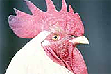 Kuş gribi